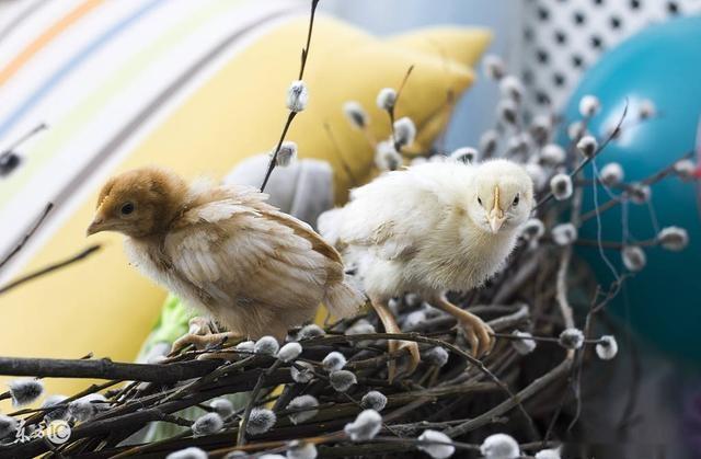 小鸡啄壳不出鸡蛋壳的原因很多,概括起来是两个方面,即先天因素和