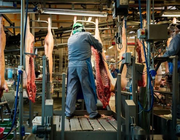 探究全球《最现代化的屠宰场》,每天的杀猪量你难以