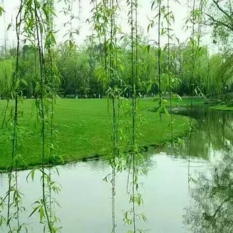 壁纸 垂柳 电脑 风景 风景壁纸 柳树 摄影 树 桌面 960_960