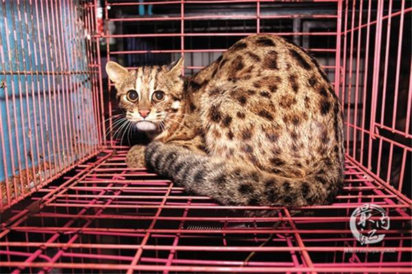 隆昌市惊现国家二级保护动物——豹猫,快来围观!