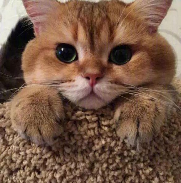 一只大脸猫的悲伤,难过得像200斤橘猫