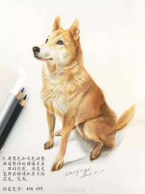 狗狗中华田园犬彩铅手绘全过程 爱狗快学