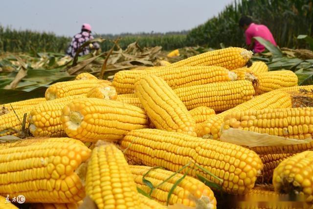 2018年玉米价格行情预测,玉米多少钱一斤(附各地玉米价格行情)