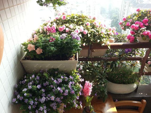 家庭阳台养花,这几种花岂能错过