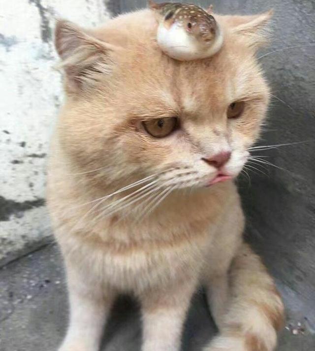 主人把河豚放在猫咪头上, 于是猫咪生气嘟着嘴, 表情太萌了!